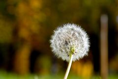 anthodium of a dandelion. - stock photo