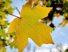 autumn foliage against the sun - stock photo