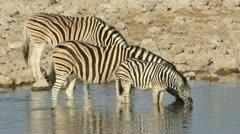 Plains Zebras drinking, African wildlife safari, Etosha National Park, Namibia - stock footage