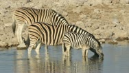 Stock Video Footage of Plains Zebras drinking