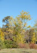 yellow leaves on autumn trees against the blue sky - stock photo