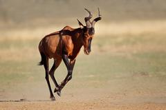 Running red hartebeest Stock Photos
