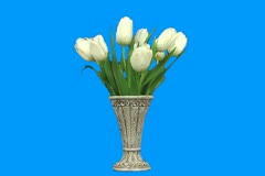 White tulip Stock Footage