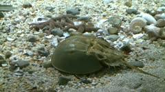 Horseshoe crab (3 of 5) - stock footage