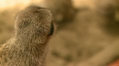 Curious meerkats (8 of 21) Stock Footage