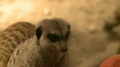 Curious meerkats (9 of 21) Stock Footage