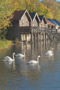 swans on lake ammer - stock photo