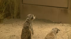 Curious meerkats (12 of 21) Stock Footage