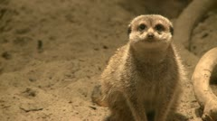 Curious meerkats (15 of 21) Stock Footage