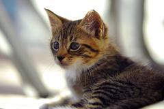 Curious striped  kitten Stock Photos