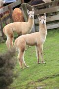Two brown lamas Stock Photos