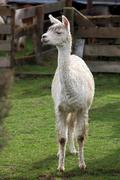 lama in farm - stock photo