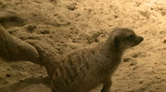 Curious meerkats (19 of 21) Stock Footage