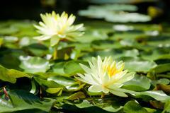 Stock Photo of lotus