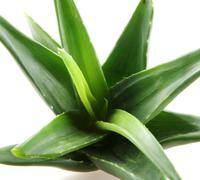 aloe vera plant isolated on white - stock photo