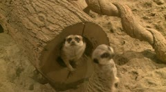 Curious meerkats (2 of 21) Stock Footage