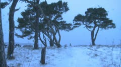 Pine tree with snow on the ground during a blizzard on the island Gotland  Stock Footage