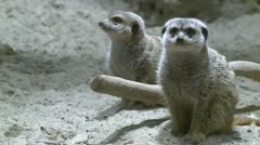 Curious meerkats (3 of 21) Stock Footage