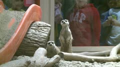 Friendly meerkats (3 of 5) Stock Footage