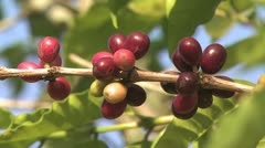 Close Up Of Coffee Beans Growing On A Branch Stock Footage