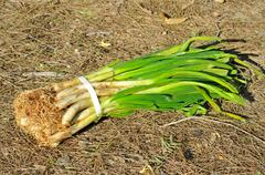 Calcots, catalan sweet onions Stock Photos