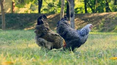 Chickens walk over grass Stock Footage