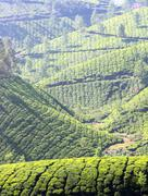 mountain tea plantation in india - stock photo