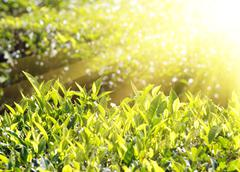 tea plants in sunbeams - stock photo