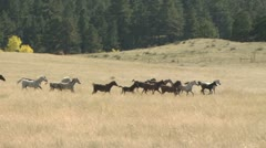 A Stampede of Horses Running Through An Open Field With a Dense Forrest of Trees Stock Footage