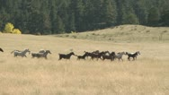 Stock Video Footage of A Stampede of Horses Running Through An Open Field With a Dense Forrest of Trees