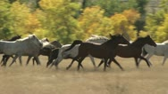 Stock Video Footage of A Stampede Of Horses Gallops Through A Field