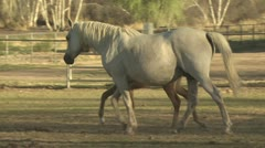 A Mare Walks with Her Colt - stock footage