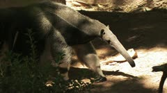 Anteater Walking Stock Footage