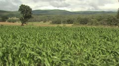 Close Up Of A Cornfield As The Stalks Sway In The Wind Stock Footage
