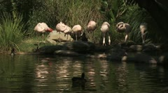 Wide Shot Of Flamingos Stock Footage