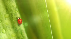 Ladybird on the flowers leaves - stock footage