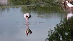 White Ibis  feeding, Everglades National Park, Florida Stock Footage