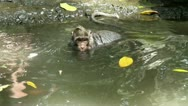 Stock Video Footage of Monkeys in Water