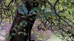 Pan of Autum Leaves Tree - stock footage