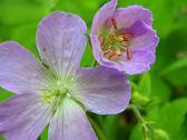 Lavender Flower Stock Photos