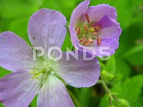 Stock photo of Lavender Flower