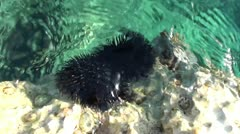 Two sea-urchins on rock close up 2 Stock Footage