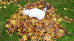 cat fall colorful rake autumn leaf pile run away - stock footage