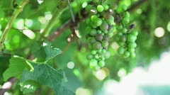 Green grape in tree Stock Footage