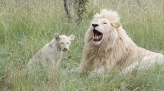 White lion cub walks away from its father Stock Footage