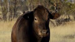 Cow on an Australian Farm Stock Footage