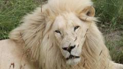 White lion's face close up Stock Footage