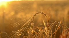 Head of barley against the setting sun - stock footage