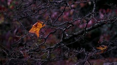Fall / Autum Leaf on Branch Stock Footage