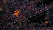 Stock Video Footage of Fall / Autum Leaf on Branch